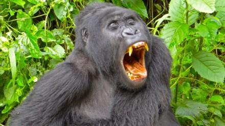 Gorillas love Uganda